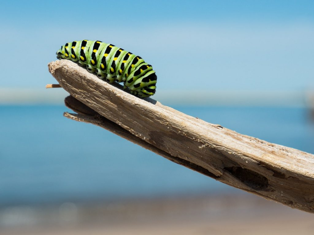 caterpillar on a stick